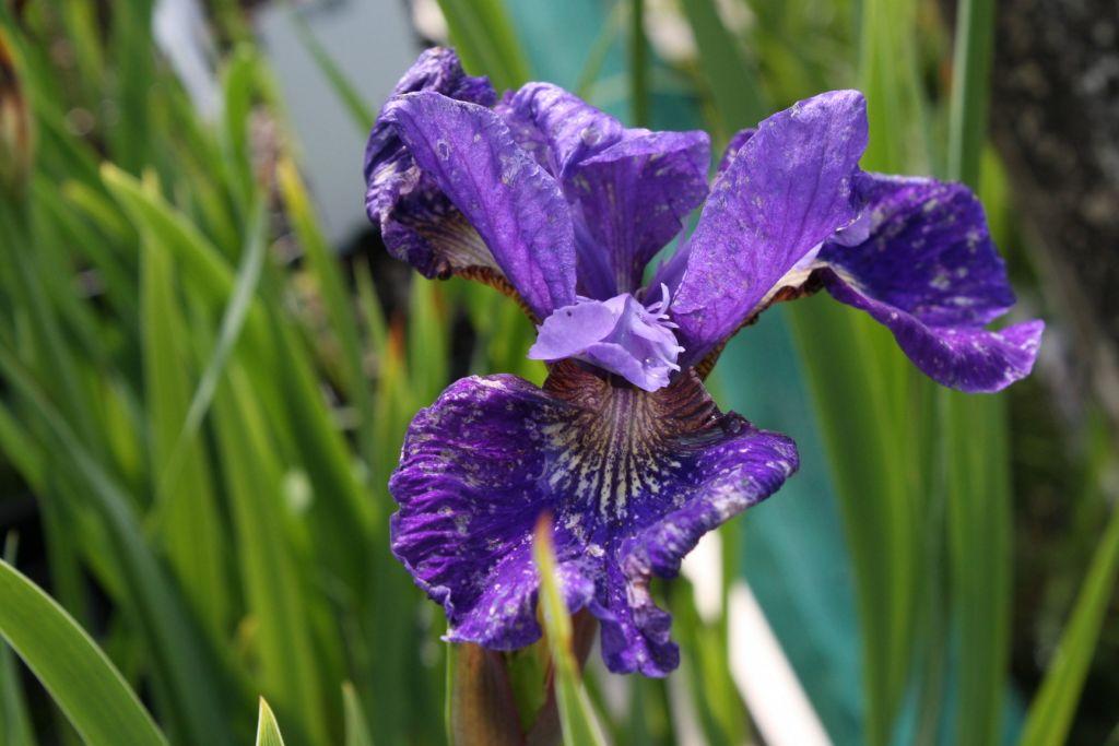 Iris * ruffled velvet