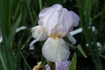 Iris \'Carolyn Rose\' (Border & Table)