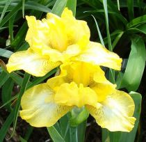 Iris \'Good Day Sunshine\'