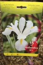 Iris de Hollande Blanc