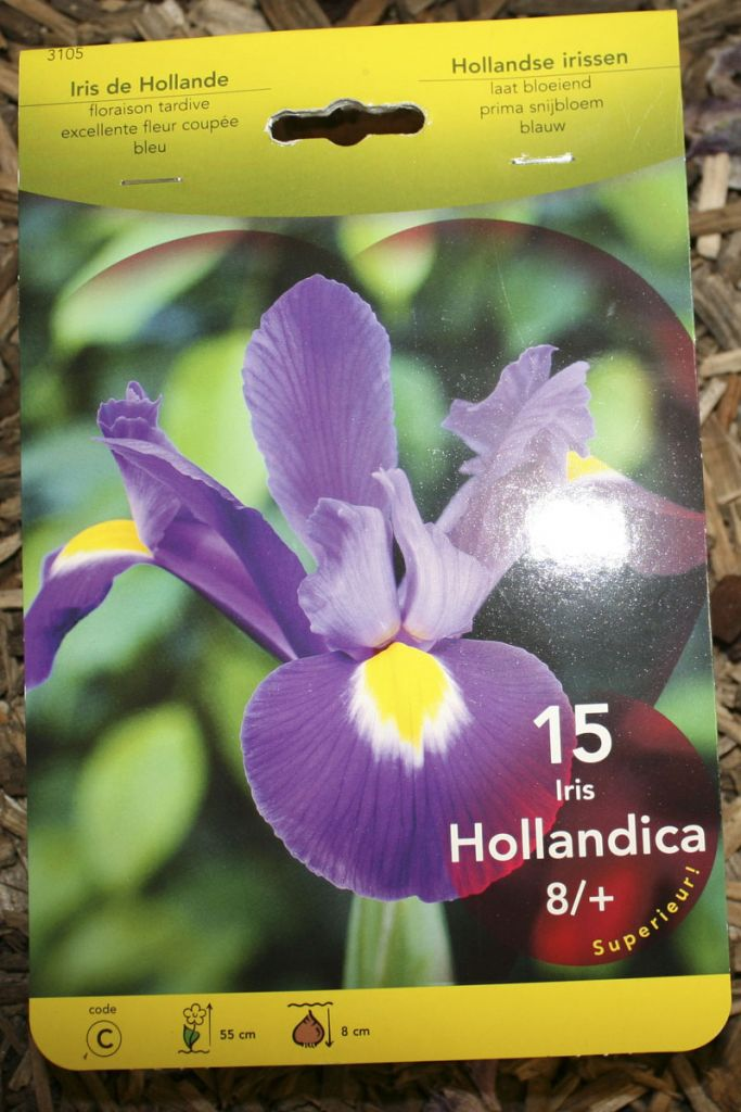 Iris de Hollande Bleu