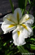 Iris ensata \'Gold Bound\'
