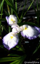 Iris ensata \'Gracieuse\'