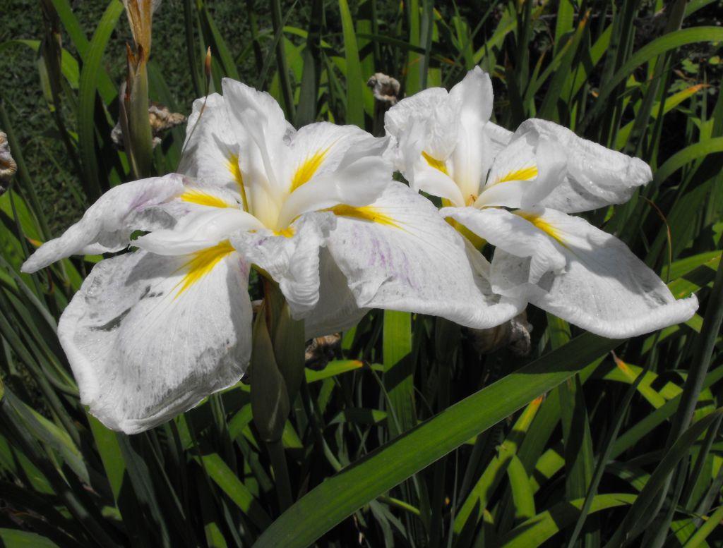 Iris ensata \'White Ladies\' blanc