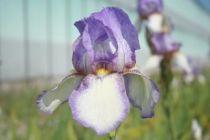 Iris germanica \'Acropole\', vivace à feuilles vertes persistantes et aux fleurs lilas et blanc au printemps
