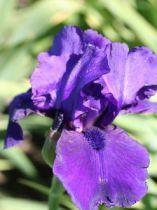 Iris germanica \'Al Segno\'