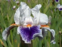 Iris germanica \'American\'s Patriot\', vivace à feuilles caduques et aux fleurs blanches violettes et orange au printemps.