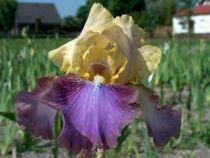 Iris germanica \'Ballyhoo\', vivace à feuilles vertes persistantes et aux fleurs mauves jaunes et pourpres au printemps.