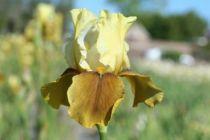 Iris germanica \'Bayberry candle\', vivace à feuilles vertes caduques et aux fleurs bronzes et jaunes au printemps.