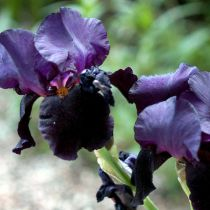 Iris germanica \'Black Dragon\'