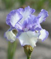 Iris germanica \'Blue Icing\', vivace à feuilles vertes persistantes et aux fleurs bleu et blanche au printemps.