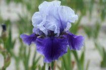 Iris germanica \'Blushes\', vivace à feuilles vertes caduques et aux fleurs bleu violet au printemps.