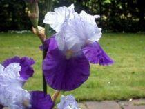 Iris germanica \'Brainwaite\', vivace à feuilles vertes caduques et aux fleurs violet fonçé et violet pâle au printemps.