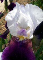 Iris germanica \'Burgermeister\'