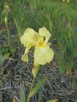 Iris germanica \'Buttered Popcorn\', vivace à feuilles semi-persistantes et aux fleurs jaunes et blanches au printemps.