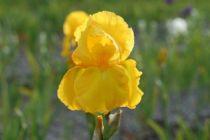 Iris germanica \'Caroline Gold\', vivace à feuilles vertes persistantes et aux fleurs jaunes au printemps.