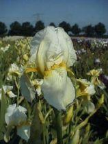 Iris germanica \'Christmas Angel\', vivace à feuilles vertes persistantes et aux fleurs blanches et jaunes au printemps.