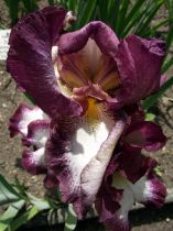 Iris germanica \'Crinoline\'