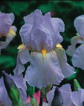 Iris germanica \'Elizabeth of England\', vivace à feuilles caduques et aux fleurs bleus lilas et jaunes au printemps.