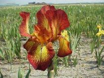 Iris germanica \'Fire Cracker\', vivace à feuilles vertes persistantes et aux fleurs bruns et jaunes au printemps.