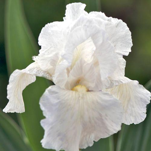 Iris germanica \'Immortality\'