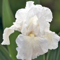 Iris germanica \'Immortality\'