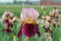 Iris germanica \'Indian Chief\', vivace à feuilles vertes caduques et aux fleurs roses clair, roses fonçé et jaunes au printemps.