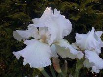 Iris germanica \'Laces Cotton\', vivace à feuilles vertes persistantes et aux fleurs blanches au printemps.