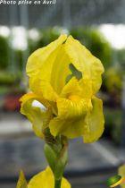 Iris germanica \'Local Hero\'