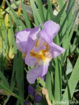 Iris germanica \'Lovely Again\'