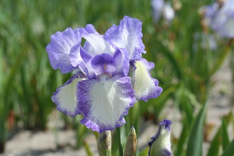 Iris germanica \'Mary\'s Delight\', vivace à feuilles vertes persistantes et aux fleurs violettes et blanches au printemps.