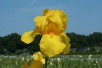 Iris germanica \'Ola Kala\', vivace à feuilles vertes semi-persistantes et aux fleurs jaunes au printemps.