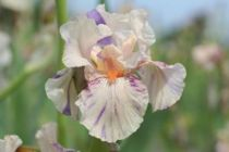 Iris germanica \'Peach Jam\', vivace à feuilles vertes persistantes et aux fleurs blanches tâchetées de violet et saumons au printemps.