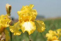 Iris germanica \'Radiant Appogee\', vivace à feuilles caduques et aux fleurs jaunes et blanches au printemps.