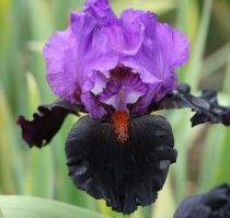 Iris germanica \'Romantic Evening\'