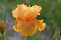 Iris germanica \'Skyfire\', vivace à feuilles vertes semi-persistantes et aux fleurs oranges ambré au printemps.