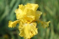 Iris germanica \'Spirit of Memphis\', vivace à feuilles vertes persistantes et aux fleurs jaunes au printemps.