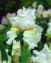 Iris germanica \'St Helen\'s Wake\', vivace à feuilles vertes persistantes et aux fleurs blanches et oranges au printemps.