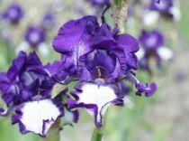 Iris germanica \'Stepping Out\', vivace à feuilles vertes caduques et aux fleurs violettes et blanches au printemps.