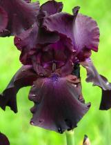 Iris germanica \'Superstition\'