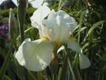 Iris germanica \'White knight\', vivace à feuilles vertes semi-persistantes et aux fleurs blanches et oranges au printemps.