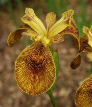 Iris pseudacorus \'Berlin Tiger\'