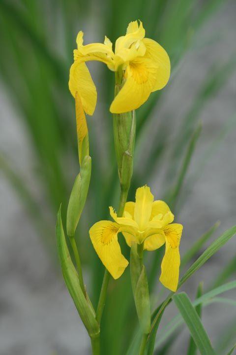 Iris pseudacorus, vivace à feuilles vertes persistantes et aux fleurs jaunes au printemps.