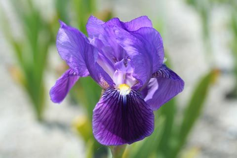 Iris pumila \'Atroviolacea\', vivace à feuilles gris-verts caduques et aux fleurs pourpres et jaunes au printemps.