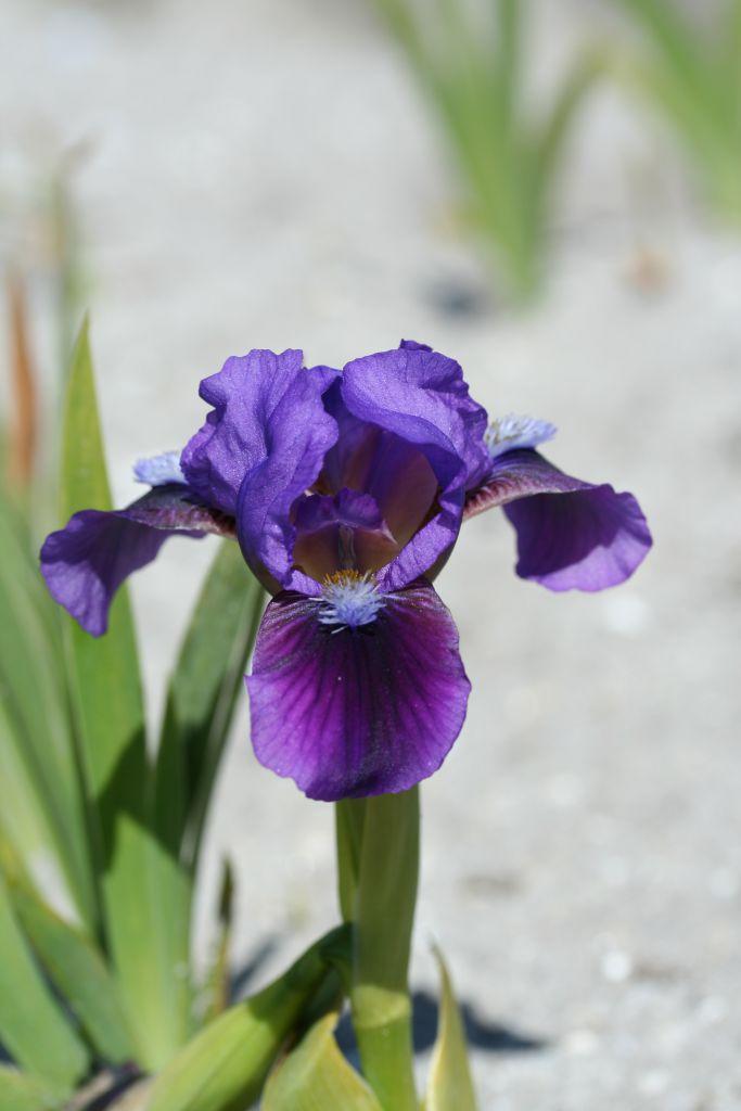 Iris pumila \'Blue Moss\'