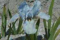 Iris pumila \'Little Sapphire\', vivace à feuilles bleu-verts semi-persistantes et aux fleurs bleus pâle et jaunes pâle au printemps.