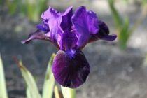 Iris pumila \'Little Shadow\', vivace à feuilles bleu-verts caduques et aux fleurs violets et bleus foncé au printemps.
