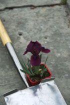 Iris pumila Cherry Garden, vivace à feuillage vert caduc, et à floraison lie de vin et barbe mauve au printemps.
