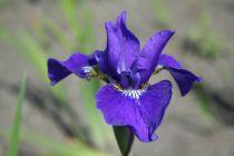Iris sibirica \'Outset\'