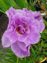 Iris sibirica \'Pink Parfait\'